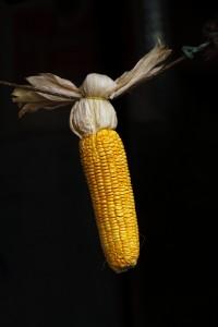 maize-2198731