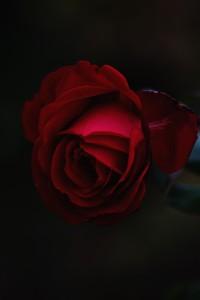 rose-918956